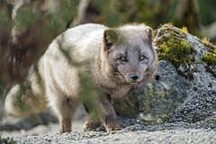 Arctic fox next to the rock