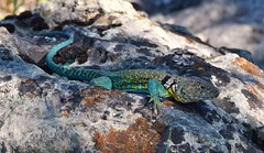 Eastern collared lizard (Crotaphytus collaris)