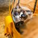 Rag-doll Cat in the Bag 漢漢害羞