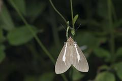 _ESL5965 Asota heliconia zebrina