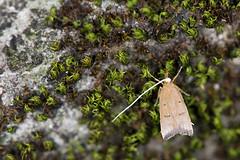 _ESL5930 Lecithoceridae
