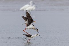 A River Tern next to Black Stilts in the act