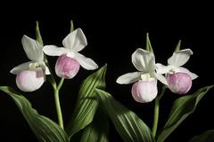 Cypripedium reginae '#190402' Walter, Fl. Carol.: 222 (1788)