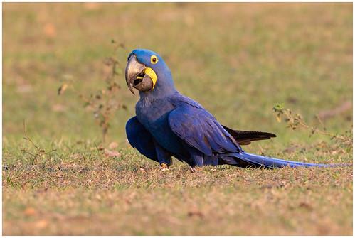 Hyacinth macaw - Hyacinthara of de Blauwe ara - (Anodorhynchus hyacinthinus) ...