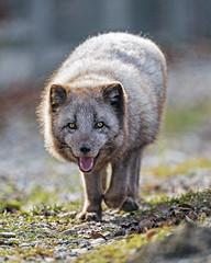 Happy arctic fox walking towards me