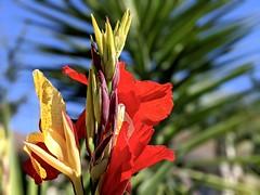 Cleopatra Canna Lily