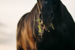 Horse chewing grass. Close-up photo