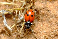 Adonis' Ladybird (Hippodamia variegata)