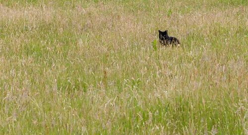 Kat in gras - Oud Groevenbeek