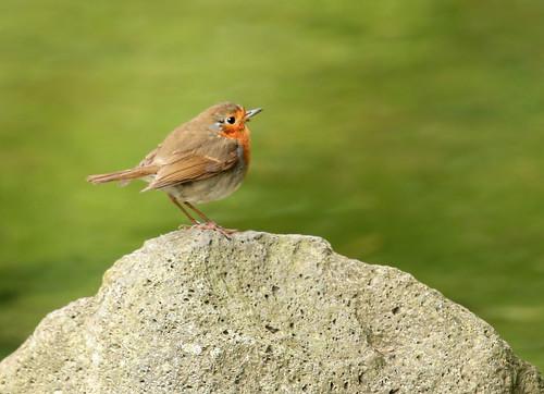 European robin aka Redbreast