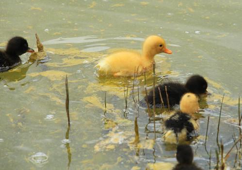 ducklings lagoa furnas