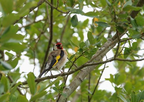 goldfinch 1