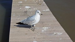 Sea gull stands on a dock
