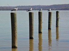 Birds standing on poles in the Potomac River