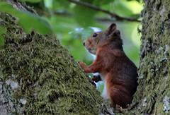 Squirrel- Ekorre