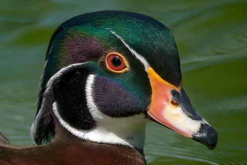 a wood duck (1/2) : portrait