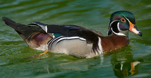a wood duck (2/2) : very high res (6K)