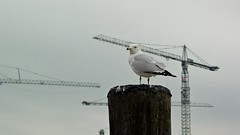 Sea gull stands on wooden pole