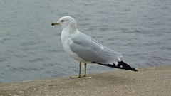 Sea gull stands on ledge