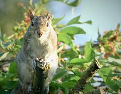 Grey squirrel 5 ( Sciurus carolinensis).  Lumix DMC FZ1000. P1280528