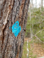 Tree marked with blue blaze [02]