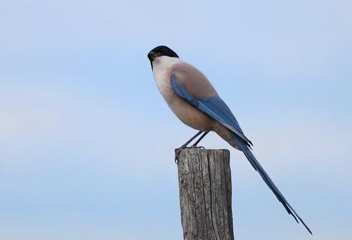 Pega-azul / Charneco / Iberian Magpie / Iberian Azure-winged magpie
