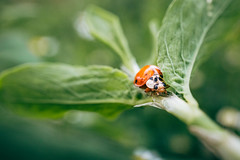 Close-up picture of a ladybug on a green leaf