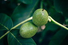 Two green walnuts on a tree