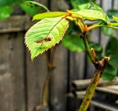 Hoverfly in summer light