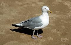 Larus argentatus smithsonianus (American herring gull) (Mt. Desert Island, Maine, USA) 2