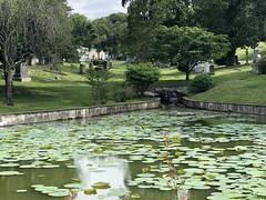 Lily pond at Rock Creek Cemetery, Washington, D.C.