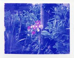 Roath Blue Roses