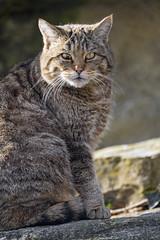 Wildcat posing