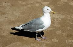 Larus argentatus smithsonianus (American herring gull) (Mt. Desert Island, Maine, USA) 3
