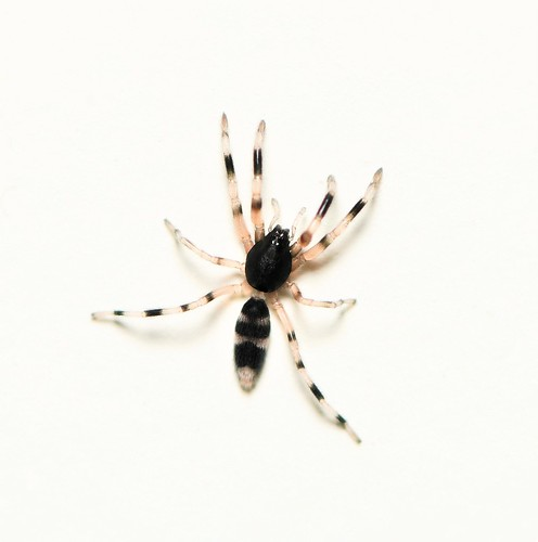 Sweet whitetail spiderling