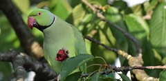 Parakeet cherry eating