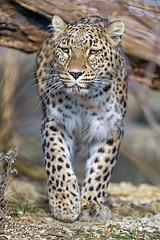 Leopardess walking calmly