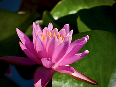 He saw the water-lily bloom