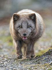 Arctic fox walking towards me