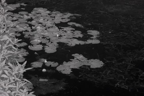 waterlilies in the biodiversity lake Belfield