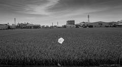 the plastic bag in the rice field