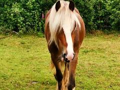 Horse, Gentleshaw Common, Burntwood