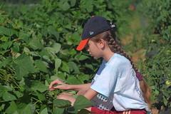 Picking beans