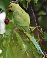 Parakeet eating cherry