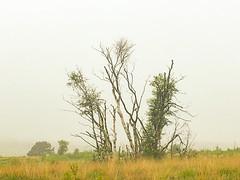 Foggy morning, Gentleshaw Common, Burntwood