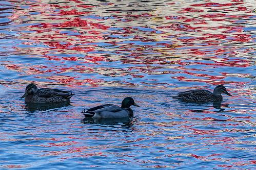 Ducks redux