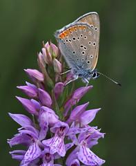 Violetter Ampferfeuerfalter (Lycaena hippothoe), Kräbachtal bei Rocherath, Ostbelgien