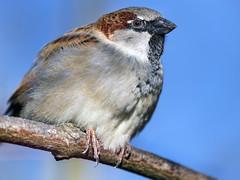 Very close sparrow