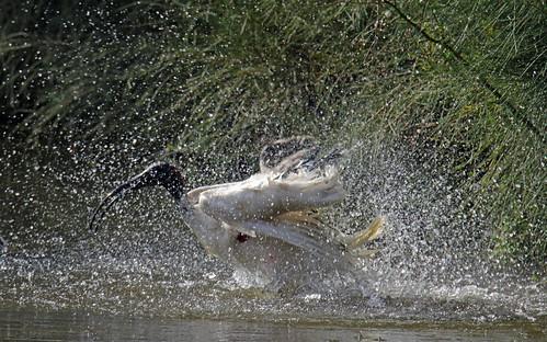 Ibis Shower