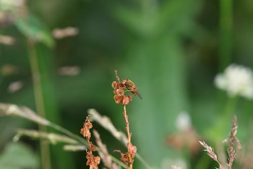 Gewone fluweelzweefvlieg | Parhelophilus versicolor female | Roden nl